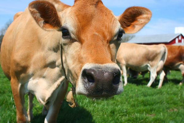 mơ thấy bò