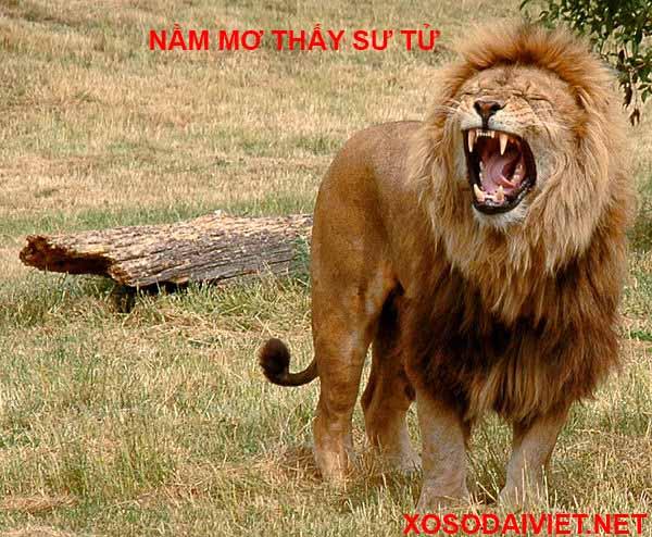 Giải mã ý nghĩa nằm mơ thấy con sư tử