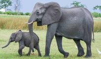 Mơ thấy voi chọn đánh con nào? Điềm báo mộng thấy voi